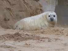 Seal near Poppyland Touring Park and holiday cottage, North Norfolk